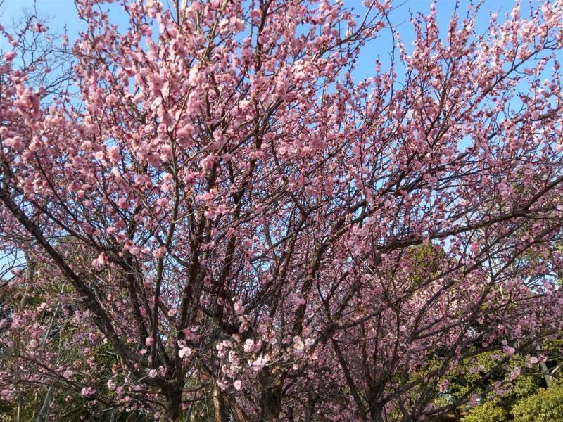 梅の花が咲きましたネ