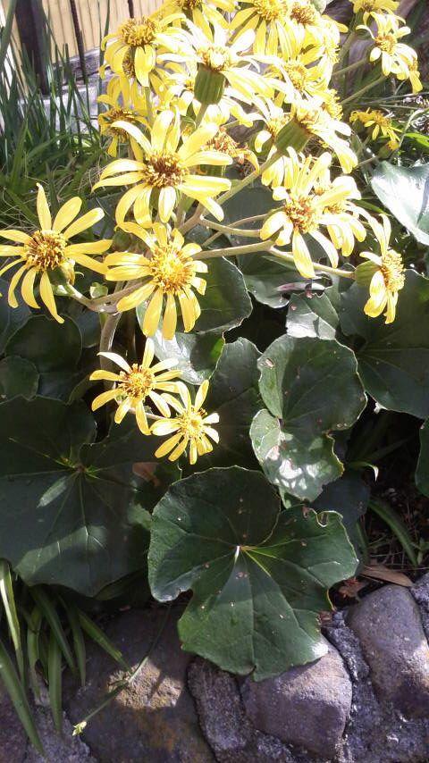 ツワブキのお花です♪