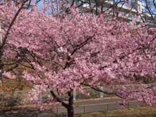 河津桜のお写真です♪2