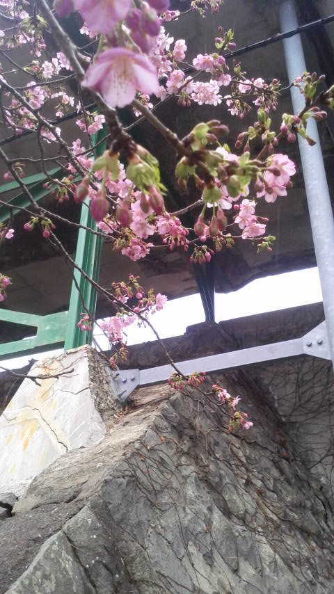 河津桜のお写真です♪1
