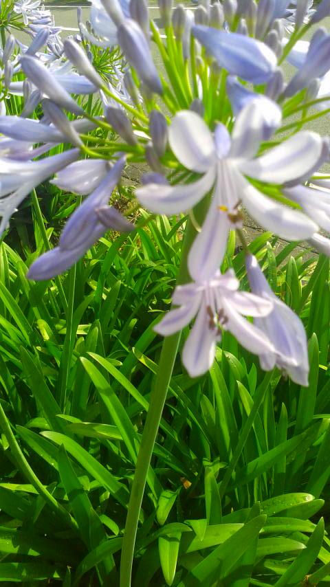 アガパンサスの花です